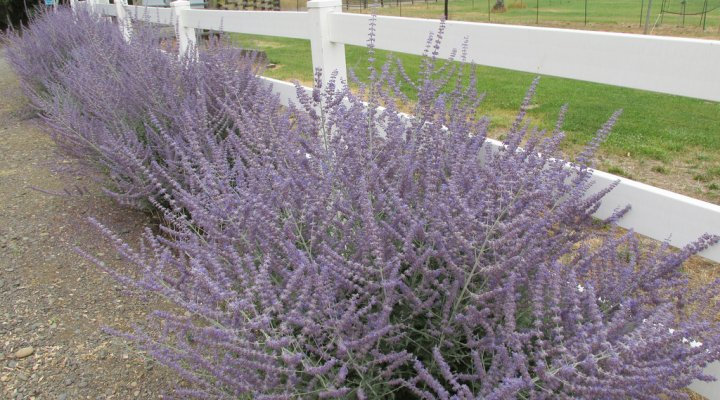 Sage as a landscaping feature.